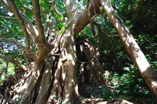 photo, la mati�re, libre, am�nage, d�crivez, photo de la r�serve,Le grand arbre de l'arbre du banyan, arbre du banyan, .., arbre �norme, arbre