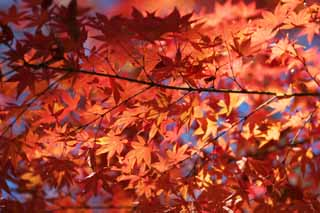 photo, la mati�re, libre, am�nage, d�crivez, photo de la r�serve,Rouge � la fin de l'automne, Feuilles de l'automne, �rable, �rables, Couleur
