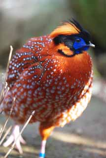 ����, ������������, ���������, ������, ����������, ���� �����.,Temminck � Tragopan, Phasianidae, ��������, �����, Showy