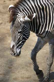 ����, ������������, ���������, ������, ����������, ���� �����.,Grevy � �����, �����, �����, Grazing ��������, Striped