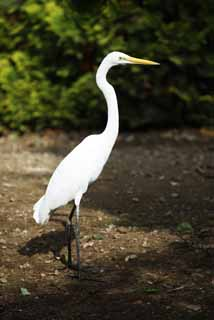 photo,material,free,landscape,picture,stock photo,Creative Commons,A large egret, heron, , , large egret
