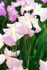 photo,material,free,landscape,picture,stock photo,Creative Commons,Season of iris flowers, white, pink, ,