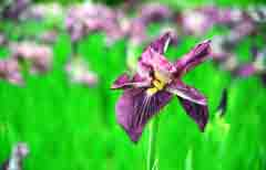 photo,material,free,landscape,picture,stock photo,Creative Commons,Irises madly in bloom, purple, , ,