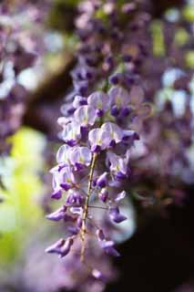 photo,material,free,landscape,picture,stock photo,Creative Commons,The wisteria, Japanese wistaria, Wisteria, , Purple