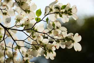 photo, la mati�re, libre, am�nage, d�crivez, photo de la r�serve,Un dogwood am�ricain, Un dogwood am�ricain, fleur du printemps, Regardez une fleur; un enthousiaste, Un dogwood am�ricain