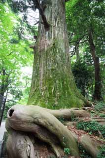 photo,material,free,landscape,picture,stock photo,Creative Commons,Octopus Cedar at Mt. Takao, legend, Mt. Takao sacred tree, Hiking, forest