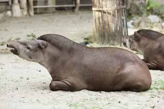 photo,material,free,landscape,picture,stock photo,Creative Commons,An American tapir, tapir, dream, An ear, Sleepiness