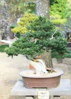 photo, la mati�re, libre, am�nage, d�crivez, photo de la r�serve,Un bonsai cor�en, bonsai, plante de jardin, Jardiner, Art