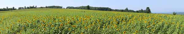 photo,material,free,landscape,picture,stock photo,Creative Commons,The sunflower of the one side, sunflower, Full bloom, blue sky, natural scene or object which adds poetic charm to the season of the summer