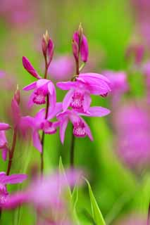 photo, la mati�re, libre, am�nage, d�crivez, photo de la r�serve,Un bletilla, Une orchid�e, bletilla, Diss�mination Germfree, Pourpre