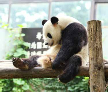 photo,material,free,landscape,picture,stock photo,Creative Commons,Giant panda, panda, , I am pretty, gesture