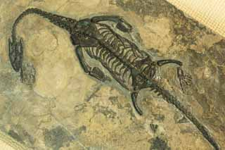 photo, la mati�re, libre, am�nage, d�crivez, photo de la r�serve,Le fossile du dinosaure, fossile, dinosaure, Une cr�ature ancienne, �volution