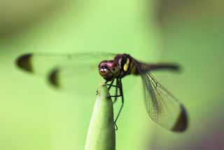 photo,material,free,landscape,picture,stock photo,Creative Commons,A dragonfly, dragonfly, , feather, Compound eyes
