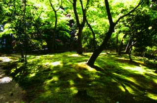 photo,material,free,landscape,picture,stock photo,Creative Commons,Sunlight through tender green, Ginkakuji, moss, tree,
