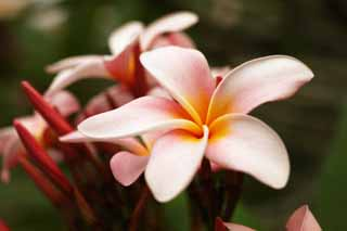 photo, la mati�re, libre, am�nage, d�crivez, photo de la r�serve,Un frangipani rose, Rose, frangipani, Un jasmin indien, D�partement du laurier-rose