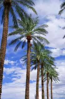 photo,material,free,landscape,picture,stock photo,Creative Commons,Palm boulevard trees, blue sky, palm, ,