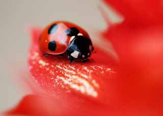 photo, la mati�re, libre, am�nage, d�crivez, photo de la r�serve,Coccinelle, Furano, fleur, insecte, coccinelle