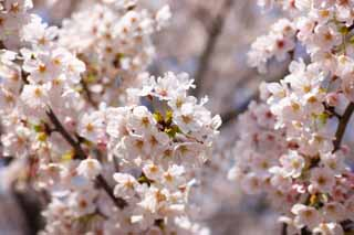 photo,material,free,landscape,picture,stock photo,Creative Commons,A cherry tree, cherry tree, , petal, In spring